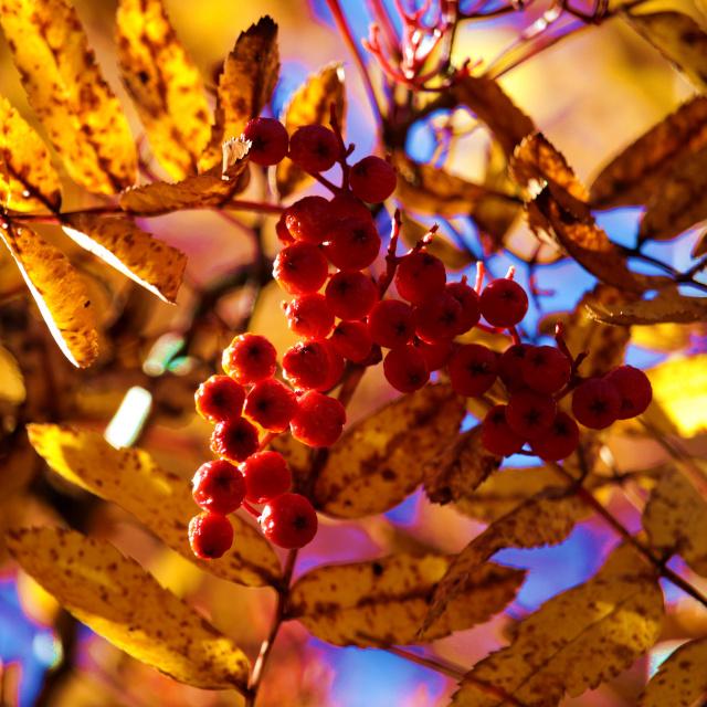 Baies et feuilles d'automne dans la Vallée de la Clarée, Hautes-Alpes