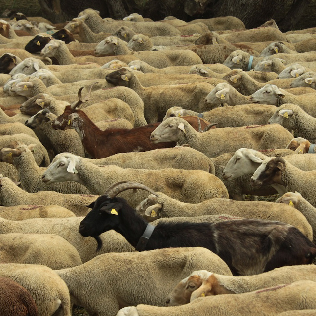 Troupeau de brebis dans la vallée de la Clarée, Hautes-Alpes
